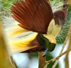 Paradisaea guilielmi / Ave-del-paraíso Imperial/ Emperor Bird-of-paradise / Paradisier de Guillaume/Kaiserparadiesvogel