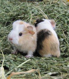 I like my guinea pig. and you?