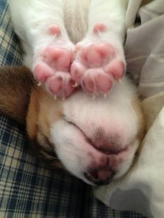 One can only imagine what this Beagle is dreaming