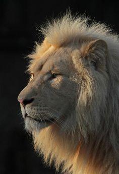 Globe Pics | White Lion