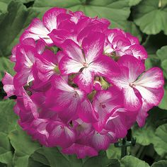 Geranium Ringo Rose Star Seeds 15 thru 250 Seeds You Pick geranium seeds