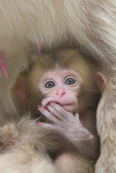 Adorable Little Baby Snow Monkey - Aww!