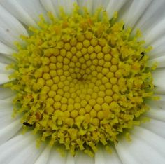 spiral Spirals In Nature, Daisies, Mathematics, Flower Power, Madness, Curls, Mandala, Creativity, Fans