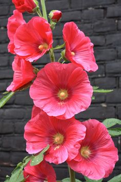 Red Hollyhock, Amsterdam, June 2014