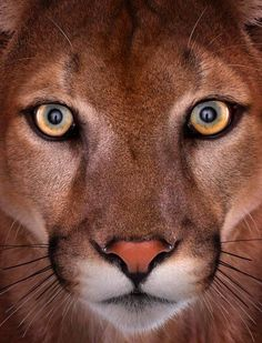 Mountain Lion portrait - part of the Affinity collection by Brad Wilson - The Independent