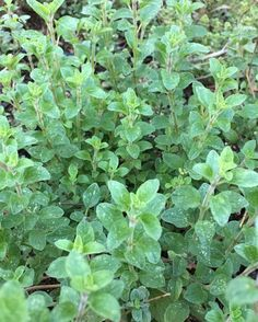 Delicious and Aromatic Italian Oregano  in my Garden #luchiachia #luchiacookbook is available in the world  #chef #cheflife #chefconsultant #chefonistagram #foodmagazine #foodblogger #foodblog #organic #herbs #siliconvalley #bayarea #sanfrancisco #healthy #healthyeating #delicious Oregano  #amazing #beautiful #foodiegram #foodlover #instahealth #instafood #california