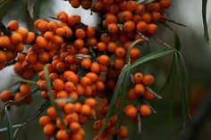 All Sea Buckthorn Oil Benefits You Might Be Interested in