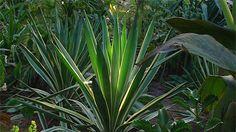 Gardening Australia - Fact Sheet: A Tropical-Style Garden