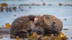 Say hello to this mom and newborn pup in Monterey Bay, California, during Sea Otter Awareness Week. Sea otters shower their pups with a...