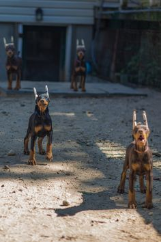 A bunch of pups! Rottweiler, Baby Puppies, Dogs And Puppies, Cabras Boer, Doberman Pinscher Puppy, Doberman Puppies, European Doberman, Weimaraner, Doberman Love