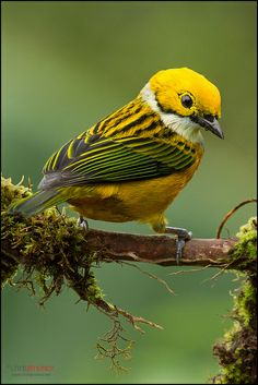 Silver-throated Tanager.  This brightly colored tanager is a resident from Costa Rica, through Panama and western Colombia, to western Ecuador.