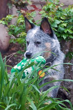 Wiley the Cattle Dog 5 months | by topendsteve