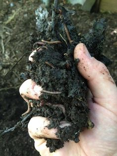 A handful of Vermicompost and Composting Worms, How to Harvest worm compost