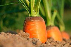 Soñar con zanahorias no es un tipo de sueño muy habitual en las personas. De hecho, esta hortaliza puede pasar desapercibida perfectamente durante el transcurso del mismo...