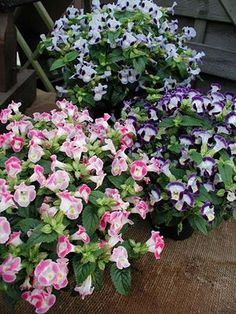 Torenia 'Clown Mix' Torenia is a great landscape choice, grows similar to impatiens. A colorful mixture of vase shaped bi-colored flowers that mimic snapdragon blooms.