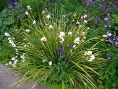 Libertia grandiflora/New Zealand Iris. Evergreen grassy leaves, white flowers late spring to early summer.