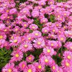 Herfstaster - Aster dumosus 'Jenny' Aster, Plants, Plant, Planets