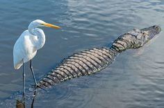 And you thought your commute today was bad? This cheeky egret hitched a ride on an unsuspecting alligator and the pictures are hilarious