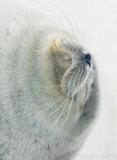 Mayuri M photography   Ringed Seal, 2014   Osaka Aquarium Kaiyukan   http://www.kaiyukan.com/language/eng/