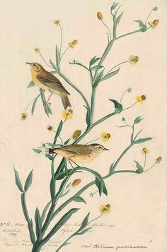 ART & ARTISTS: Audubon: Birds of America part 5