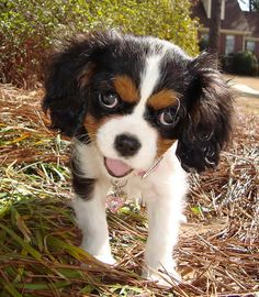 Tri Colored Cavalier King Charles Spaniel~what a happy little puppy, I what 1 just like this one ~