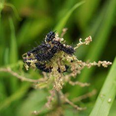 Läjä nokkosperhosen toukkia.