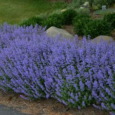 Purrsian Blue Catmint: Deer-Resistant Plants from Gurney's - Perennials Flower Landscape, Landscape Design, Deer Resistant Perennials, Deer Resistant Landscaping, Deer Resistant Flowers, Deer Resistant Garden, Drought Resistant Plants, Deer Proof Plants, Drought Tolerant Garden