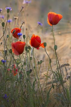 """natures-rich-palette: """" The Meadow….by Taras L """" Wild Flower Meadow, Meadow Flowers, Wild Flowers, Flower Meanings, Red Poppies, Flower Photos, Lawn And Garden, Belle Photo, Watercolor Flowers"""