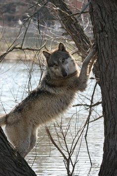 ☀Wolves are surprisingly good climbers, able to climb trees using their strong muscles, sharp claws, and rough pads. Because of this, there are some wolves who prefer to mark higher up on trees by scaling them a bit and clawing into the bark.