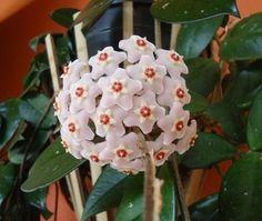 Como cuidar de uma flor de cera - 7 passos - umComo