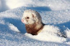 Snowy ferret by Stas Kochkin on 500px