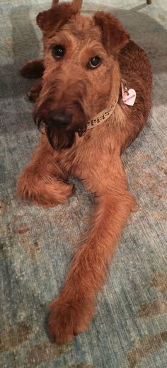 Irish Terrier, FINBAR