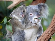 """""""Um, excuse me, are you gonna eat that."""" 🌿🐨 Visit us here to see our adorable koala joeys exploring. Trust me, they'll melt your heart xx Bindi Irwin, Save Our Earth, Quokka, Happy Skin, Wombat, Cute Funny Animals, Animal Kingdom, Bear, Cats"""
