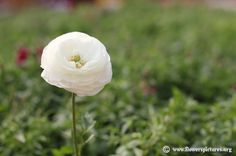 White persian buttercup (9) Flower Pictures, Some Pictures, Persian Buttercup, Spider Legs, Liquid Fertilizer, Thing 1, Sandy Soil, Colorful Flowers, Rose