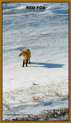 Red Fox, Southeastern Saskatchewan, Feb 2018. Credit: Nelson Draper Canadian Wildlife, Red Fox, Corgi, Photos, Animals, Image, Corgis, Pictures, Animales