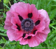 Papaver orientale 'Patty's Plum' is a luscious colour that fits with any planting scheme, it's fleeting but worth every day that its in flower Papaver, Plants, Perennials, Flowers, Nature