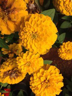 Zinnia elegans yellow #Ameriseed Zinnia Elegans, Zinnias, Yellow, Garden, Flowers, Plants, Garten, Lawn And Garden, Gardens