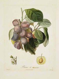 A. Poiteau. Prune de Monsieur, 18th century