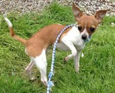 Scrappy is an adoptable Chihuahua Dog in Honeoye Falls, NY. If you are interested in adopting Scrappy, please contact Bonnie at bidwell_gary@yahoo.com ...