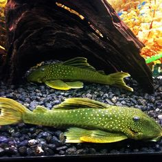 We just got these green phantom plecos in...so gorgeous!! These fish are good in a community tank and love to have lots of hiding places. #AquariumAdventure #greenphantompleco #L200