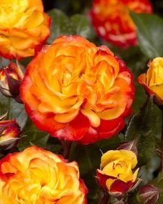 Viherpeukalot-ruusu 2017 Flower Power, Spring, Flowers, Plants, Roses, Pink, Florals, Rose, Plant