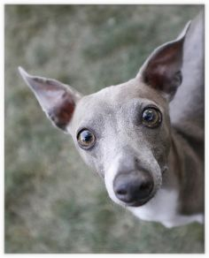 An Italian Greyhound Giving You The Look