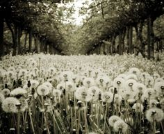 i wanna frolic through these so badly... like obsessed with Dandelions