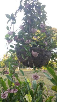 Flores de cera.