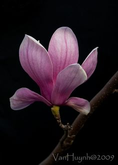 Magnolia blossom by Van Huynh
