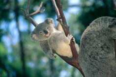 """expressions-of-nature: Baby Koala Bear by Himani Printscapes """"Just hangin' loose today. Nature Animals, Baby Animals, Funny Animals, Cute Animals, Baby Giraffes, Wild Animals, Koala Baby, Baby Otters, Baby Baby"""