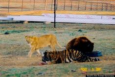 An American black bear, a Bengal tiger and an African lion were the victims of animal cruelty, according to Imgur, but the ending of their story will leave you believing in fate.