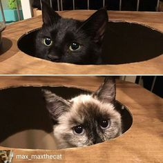 @Regrann from @max_maxthecat -  hello everyone - we're home and doing well  we got all our shots vaccines combo tests (negative) and microchipped  we both are very sweet and will fostered for a little while BUT available for adoption soon  both approximately 6 months old and are sisters (not mom and kid that i thought) - siamese & black kitten with a cute stub tail _ @catfurnature catpods _ #feralkittens #kittensofnstagram #ferals #catsofinstagram - #regrann