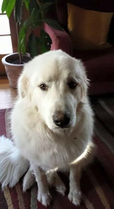 Cheshire Animal Control added a new photo. June 8 at 10:00pm · Edited ·  Good news update! Came home muddy and happy! Missing Great Pyrenees in Waterbury https://www.facebook.com/photo.php?fbid=10155674261160174&set=a.10150349740055174.601350.877320173&type=1
