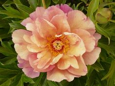Peonies Garden, All Plants, Growing Flowers, Pretty Flowers, Pretty Pictures, Trees To Plant, Spring Flowers, Roots, Cactus